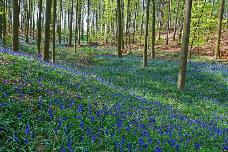 Download Bluebell forest stock photo. Image of meadow, outdoor - 2306118