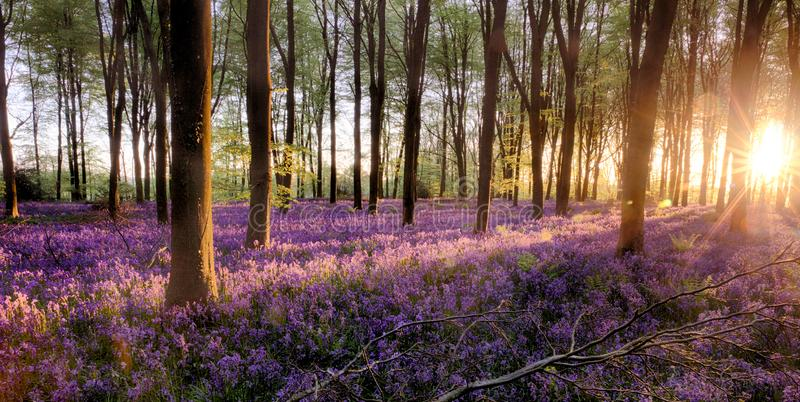 Bluebell forest alive at sunrise stock photos