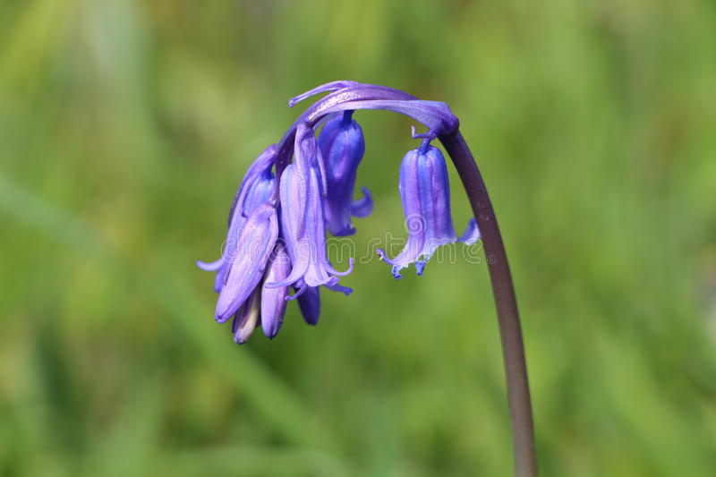 Bluebell in the grass. Close-up of Bluebell in the grass royalty free stock photos