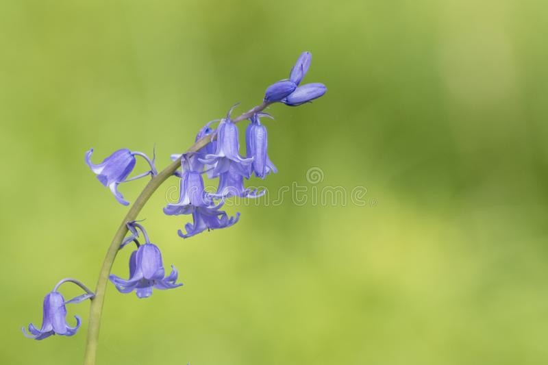 Download A Bluebell On A Green Background Stock Photo - Image of lilac, flower: 115968802