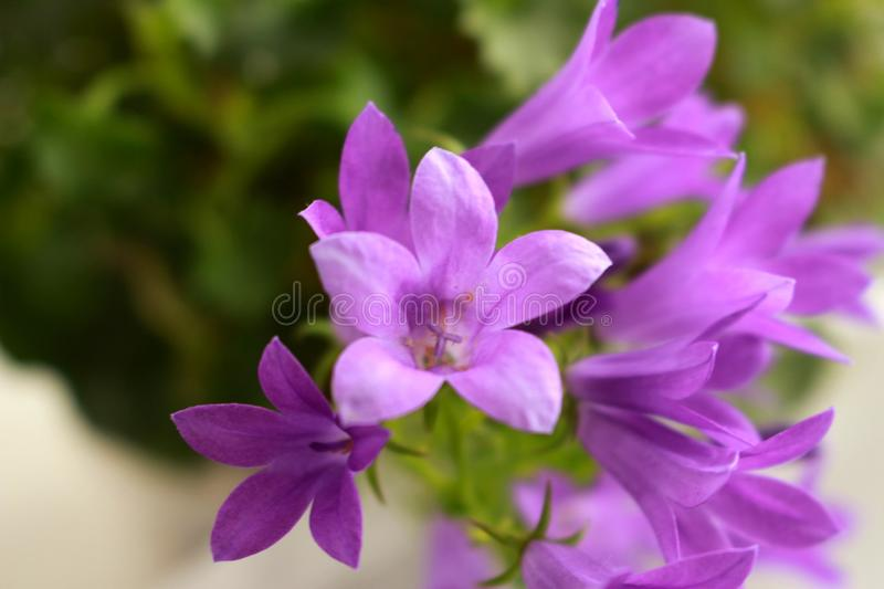 Bluebell. Light day spring april bluebell flower plant purple color green color fokus on foreground stock photography