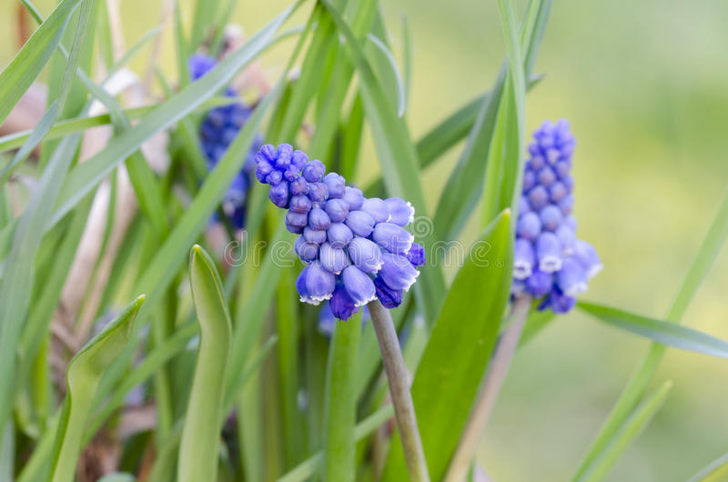 Bluebell. (Muscari) blooming in the garden royalty free stock images