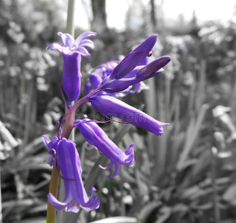 Bluebell. A bluebell picked out against a black and white background royalty free stock image