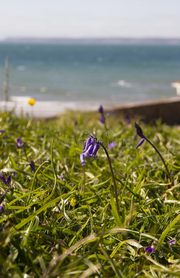 Bluebell by the sea. Bluebell and grass bank on a coastal path beside the blue sea on a sunny day in Devon royalty free stock images