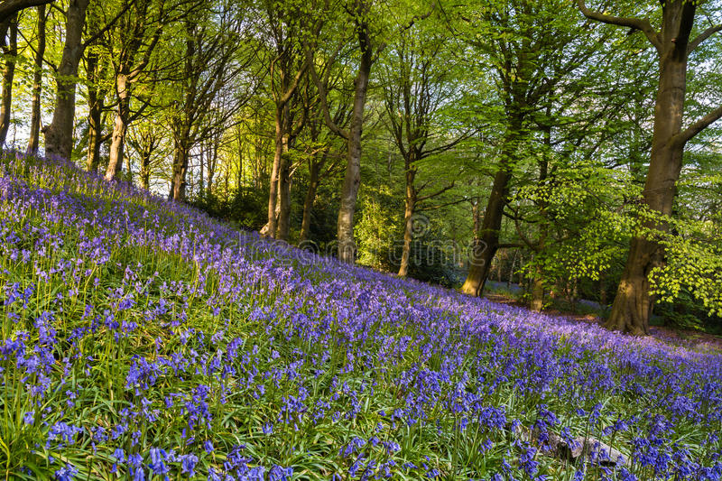 Bluebell slope. The Morpeth Bluebell Wood in Northumberland known for its fine walks in springtime stock photo