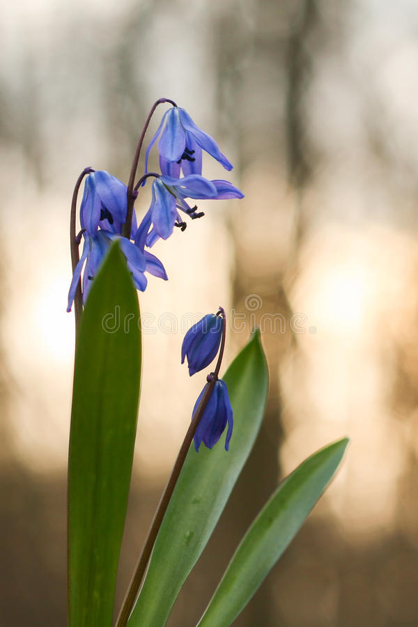 Bluebell, snowdrop in the forest, flower royalty free stock photography