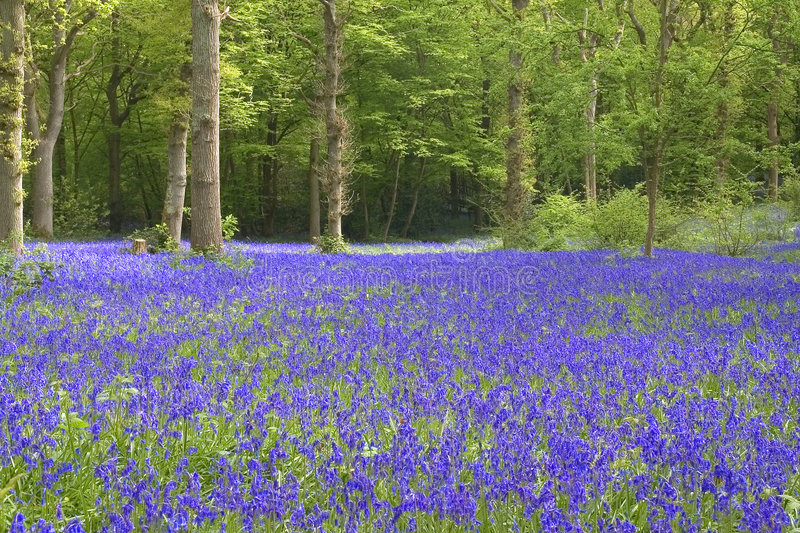 Download Bluebell View Royalty Free Stock Image - Image: 140336