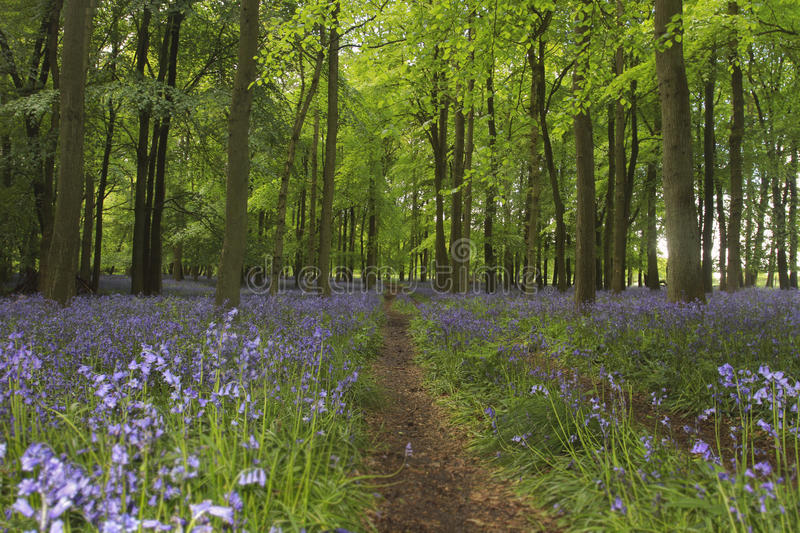 The bluebell way. This beautiful bluebell wood is located within the Ashridge Estate, owned by the National Trust in Hertfordshire, England royalty free stock photography