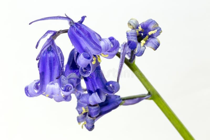 Bluebell on white background stock photo image of closeup bluebell on white background mightylinksfo