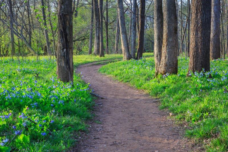 Bluebell Wildflower odprowadzenia śladu ścieżka fotografia royalty free