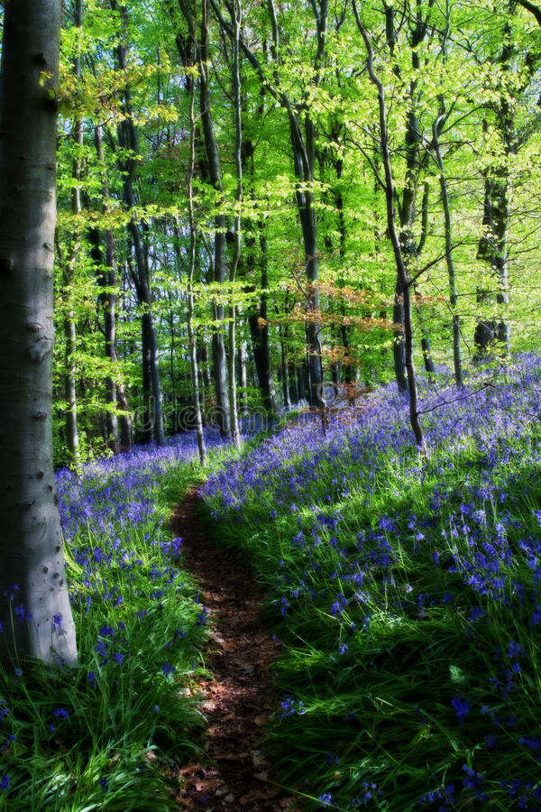 Bluebell Wood. Path through springtime bluebell woods with fresh green leaves stock images