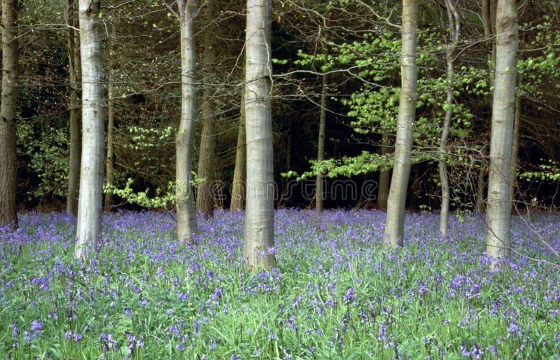 Download Bluebell wood stock photo. Image of peace, glade, bluebells - 199280
