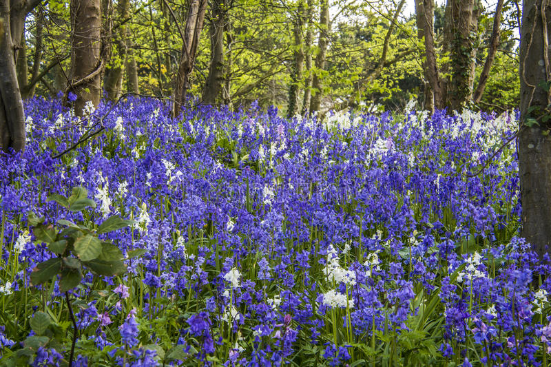 Bluebell Wood royalty free stock photography