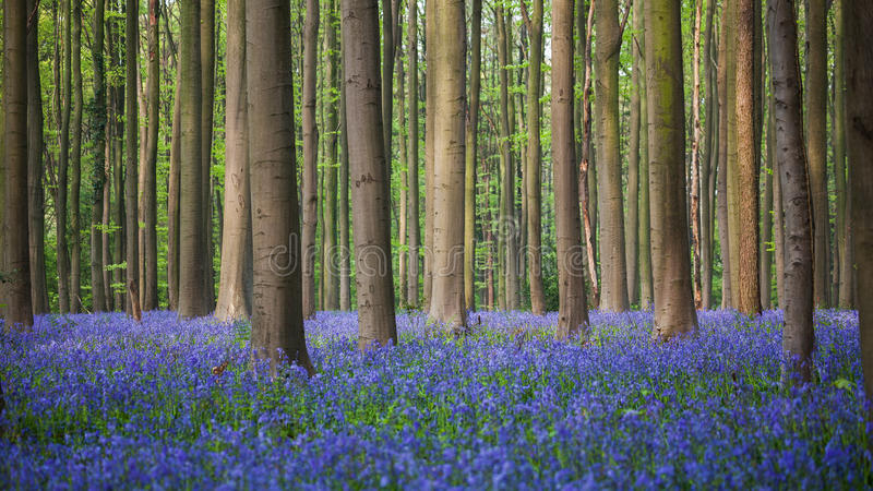 Bluebell wood of Hallerbos royalty free stock photos