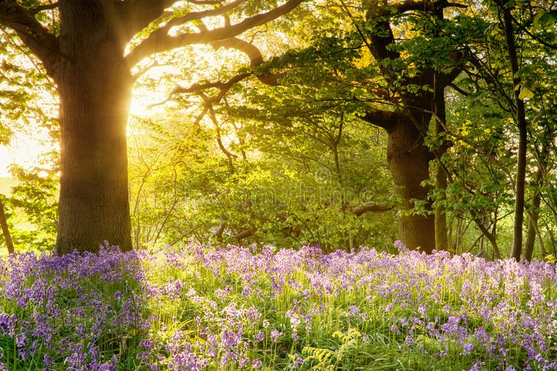 Bluebell wood with magical morning sunrise stock images