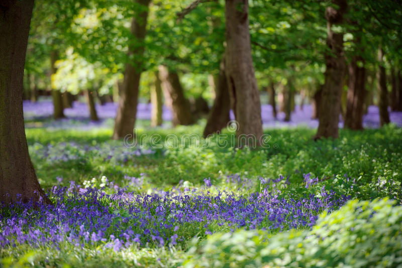 Bluebell Wood In Springtime. A mass of pretty bluebells in patches of sunlight disappear into the foliage and tree trunks with carpets of bluebells behind royalty free stock photo
