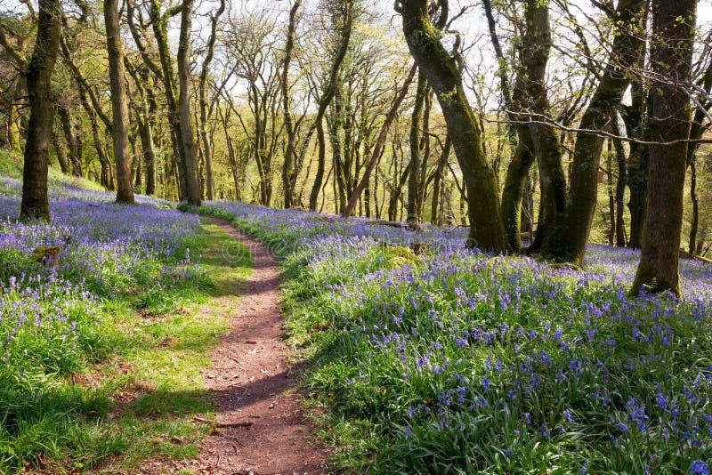 Bluebell woodland. English bluebell woodland Dartmoor Devon UK royalty free stock photo