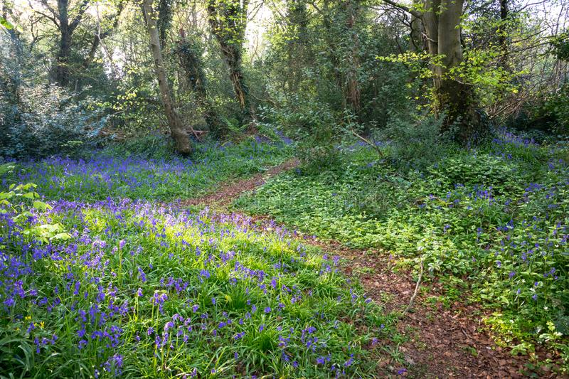 Bluebell woodland path stock photography