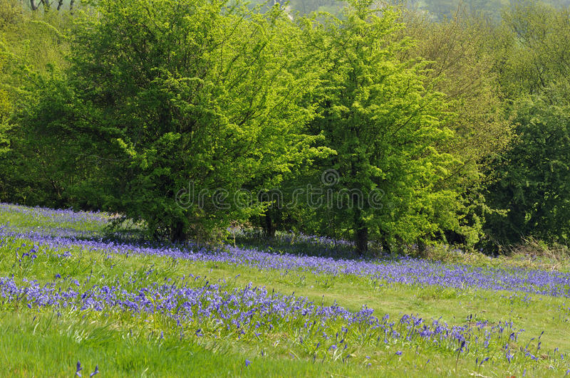 Bluebell Woods Royalty Free Stock Photos