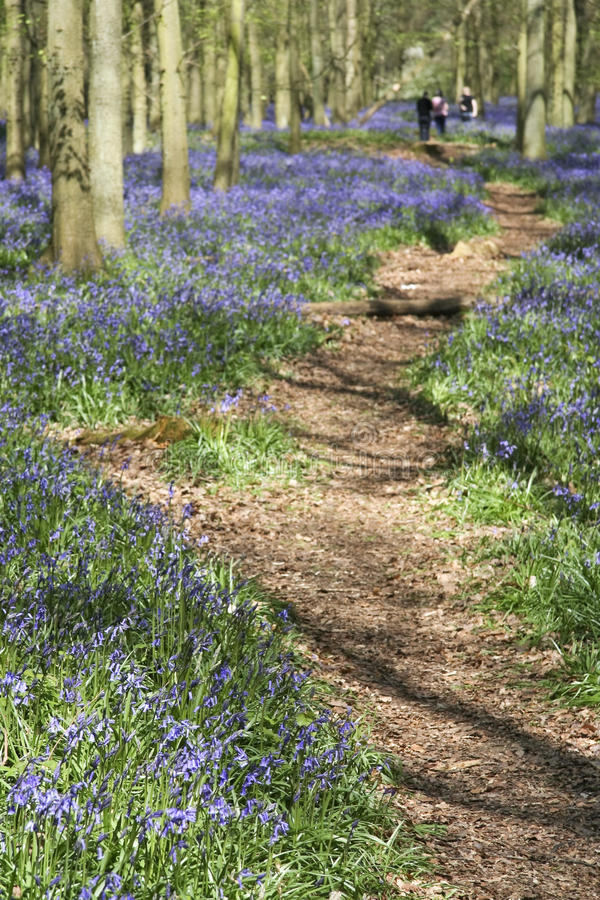 Bluebell woods ashridge english countryside stock images