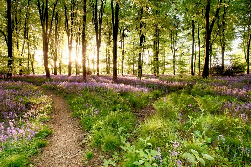 Bluebell woods with birds flocking. Through the trees duing early morning sunrise. Magical forest with paths leading through the beautiful flowers in spring stock images