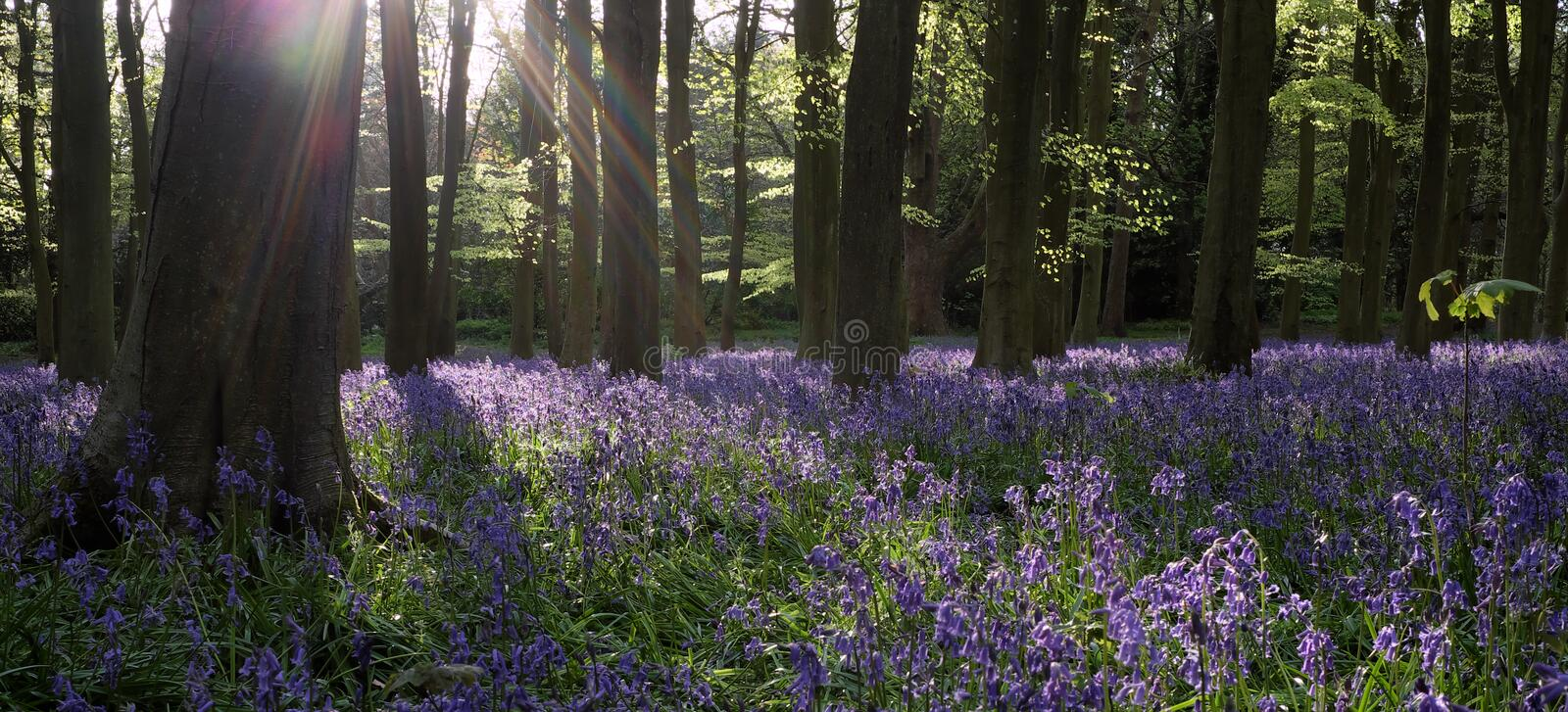 Bluebell Woods. Bluebell Flowers in the woods stock photography