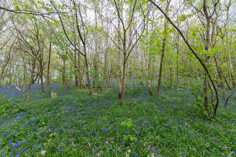 Bluebell Woods royalty free stock image