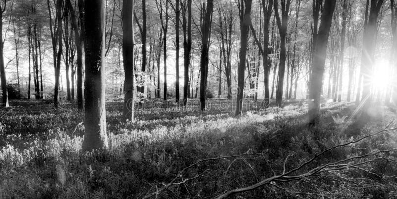 Bluebell woods sunrise in spring black and white. Bluebell spring woodland during sunrise. Black and white forest landscape during English spring stock photography