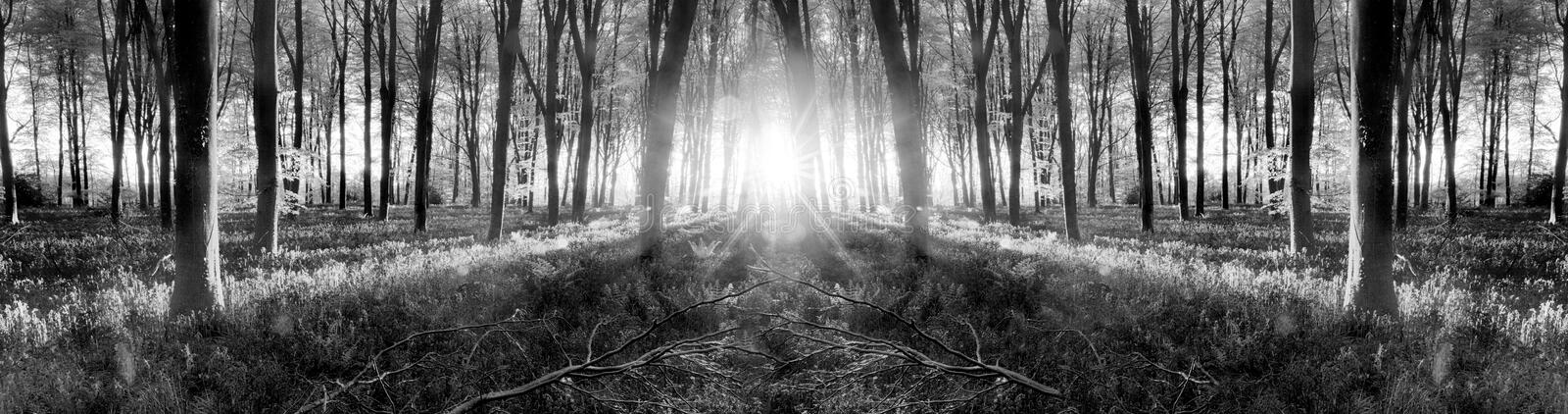 Bluebell woods sunrise in spring black and white stock images