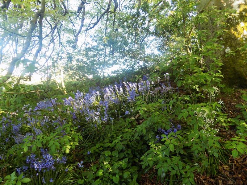 Bluebell Woods Walk @ Crookham, North Northumberland, England. Bluebell Woods Walk @ Crookham, North Northumberland. England. A sunny day in the country stock photos