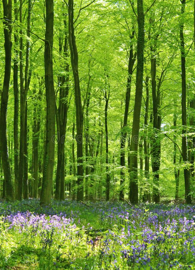 Bluebell Woods stock images