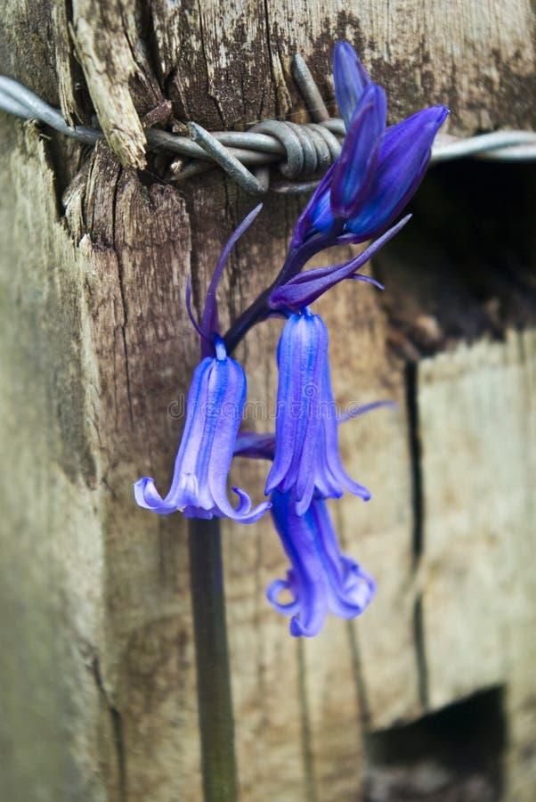 Bluebell y alambre de púas fotografía de archivo libre de regalías