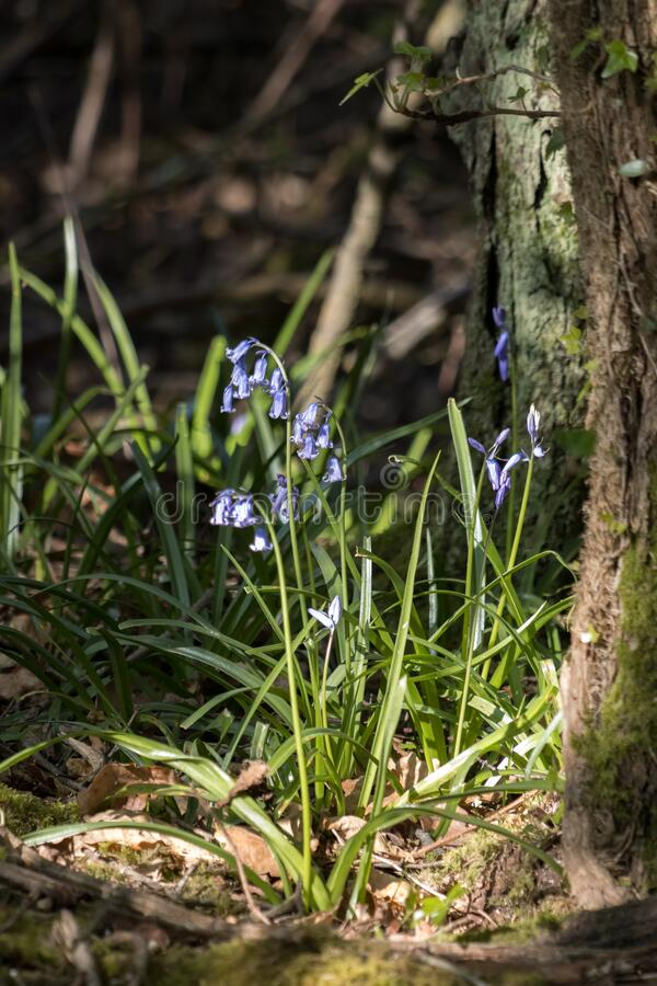 Bluebellklumpen, beleuchtet durch Frühlingssonne lizenzfreie stockfotografie