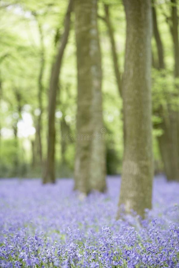 bluebells élevant la régfion boisée photographie stock