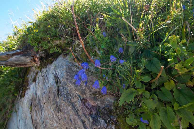 Bluebells και αλπικά χορτάρια σε έναν βράχο στοκ εικόνες