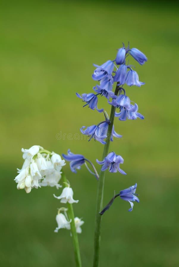 bluebells λευκό στοκ εικόνες