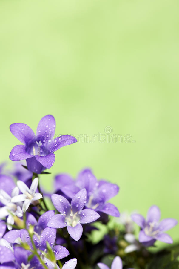 bluebells πράσινος στοκ εικόνες