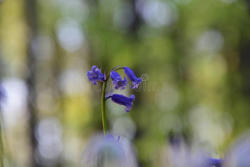Bluebells σε ένα δάσος του Βελγίου στοκ εικόνες