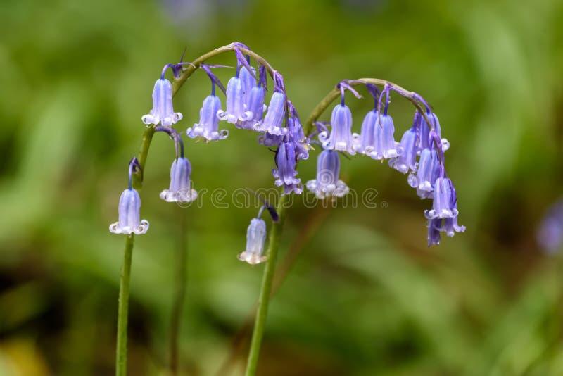 Bluebells весной стоковая фотография