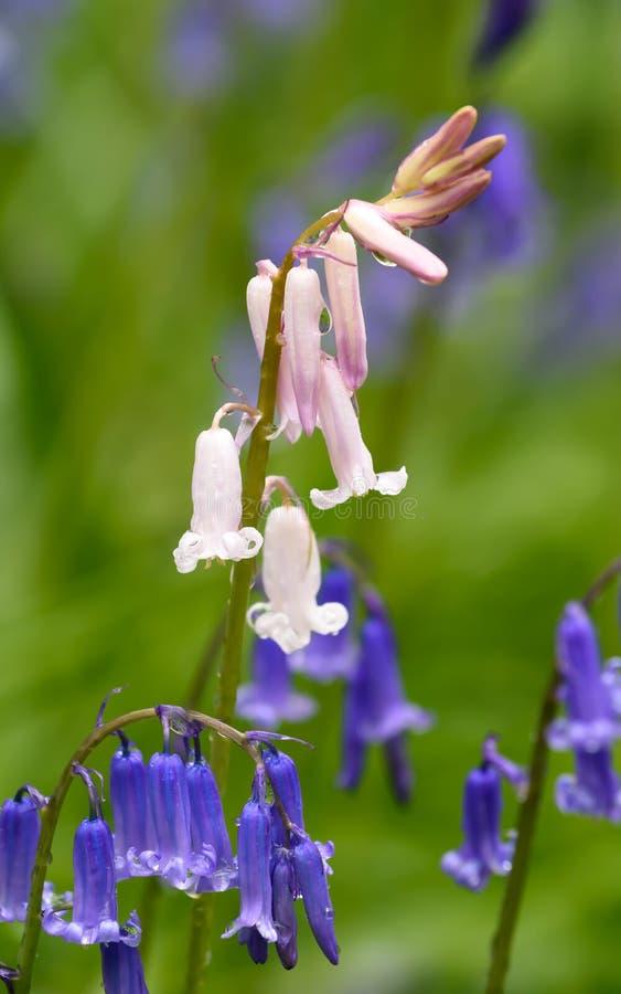 Bluebells весной стоковое изображение rf
