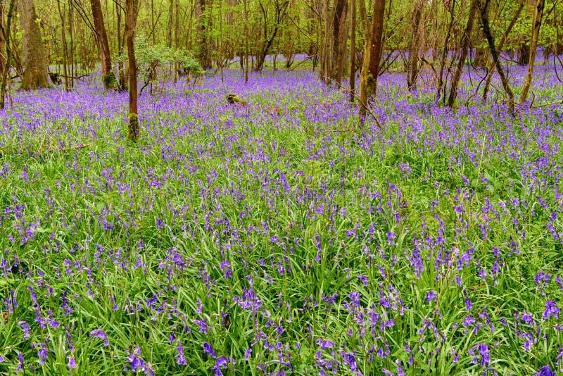 Bluebells весной стоковые изображения