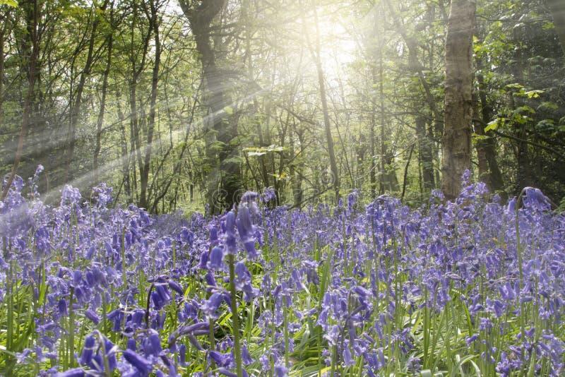 Bluebells весной стоковое изображение