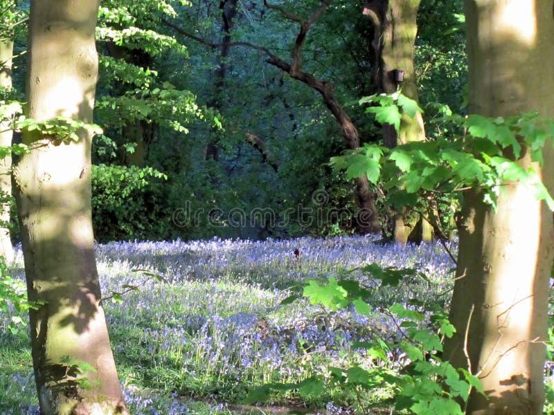 bluebells весны стоковые изображения rf