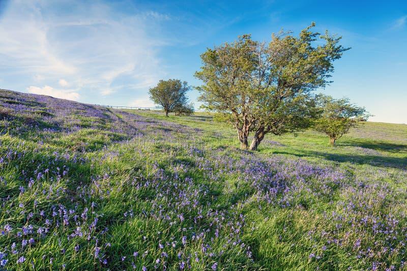 Bluebells на Dartmoor стоковые фотографии rf