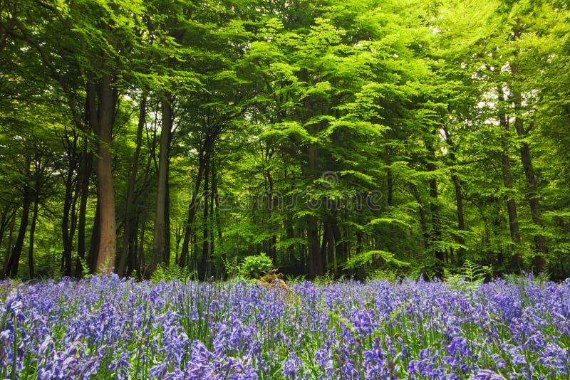 bluebells освобождая полесье стоковые фотографии rf