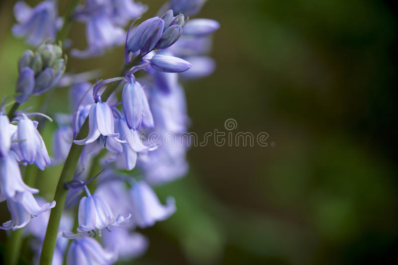 Bluebells immagine stock