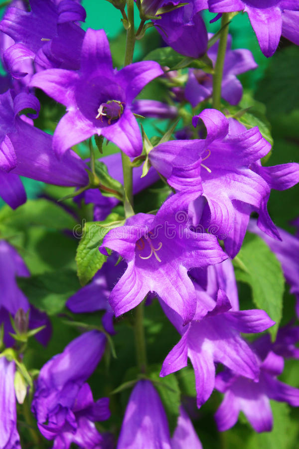 Download Bluebells stock photo. Image of nature, garden, blossom - 14855730