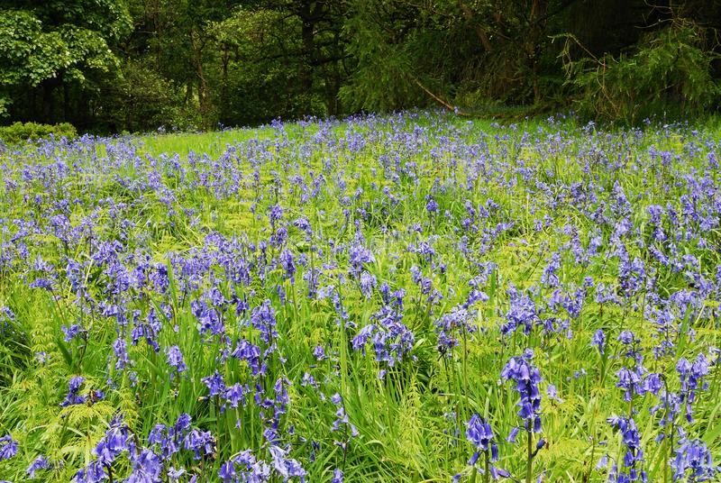 Bluebells royalty free stock photography