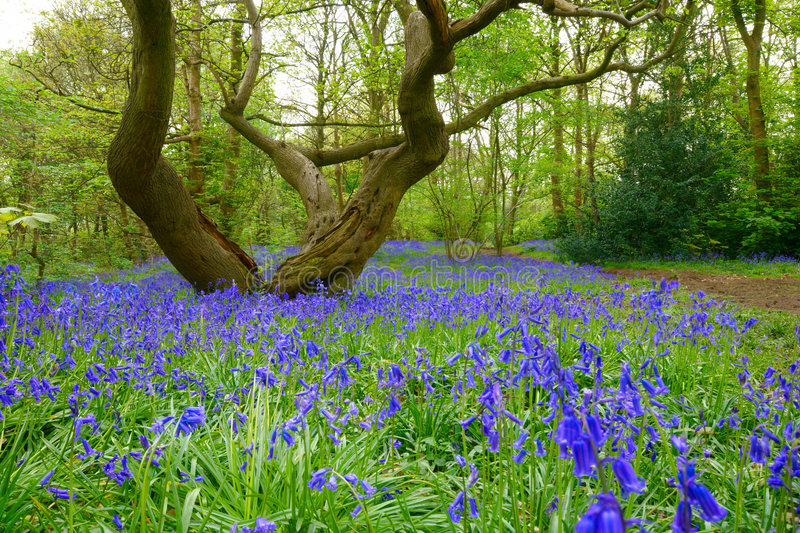 Bluebells images stock
