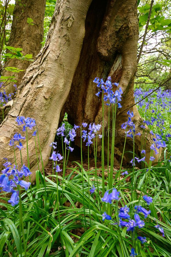 bluebells стоковые фотографии rf